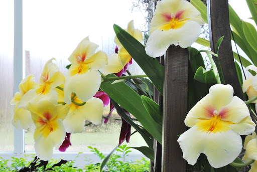 Yellow pansy orchids.