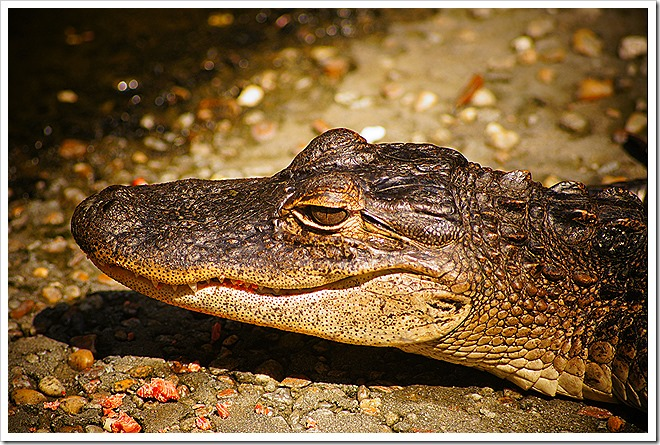 crocodile-public-domain-picture (6)