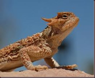 Amazing Pictures of Animals, photo, Nature, exotic, funny, incredibel Zoo, Horned lizard, Phrynosoma, Reptilia, Alex (28)
