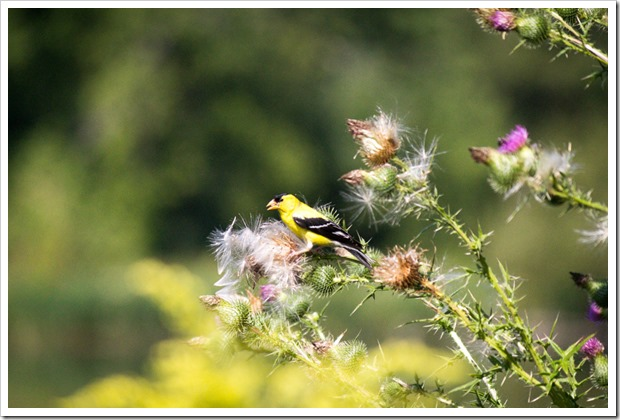 goldfinch in the thistle seeds
