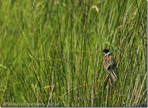 25-reed-bunting