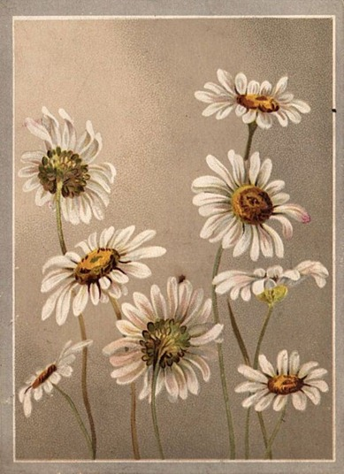 daisies002