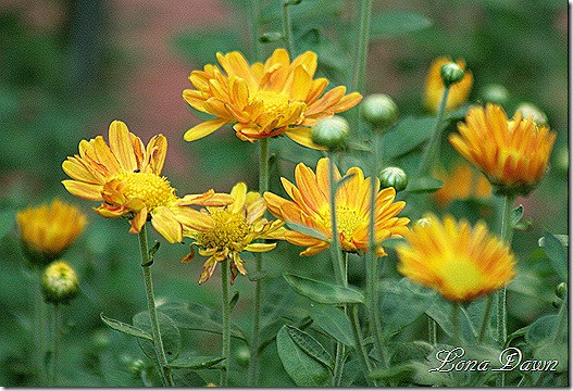 Chrysanthemums_Aug26