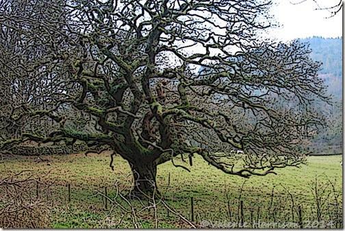 11-old-tree