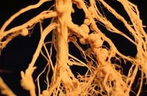 nodular roots