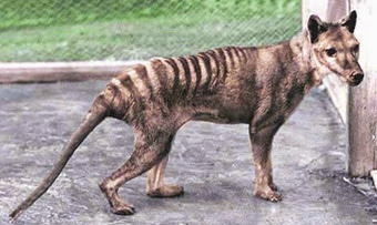 thylacine___recolored_by_classicalguy-d5fv43z