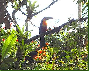 Tucanos 20set2010 jabuticabeira arboretum 006