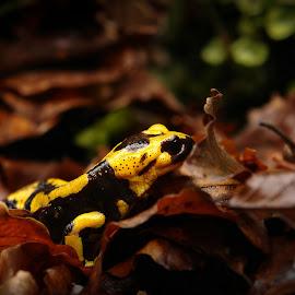 Salamander focus by Michele De Stefano - Animals Amphibians ( torrente, foglia, anfibio, umido, nero, giallo, salamandra )