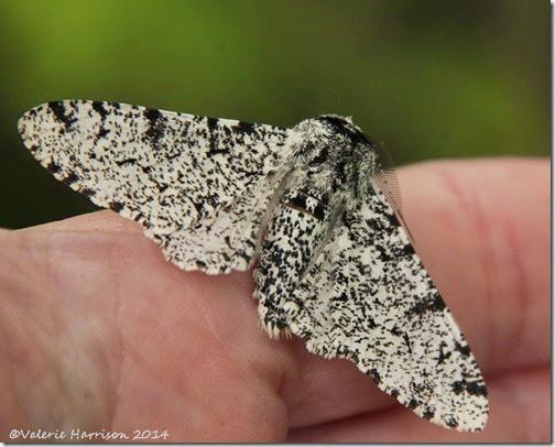 Peppered-Moth