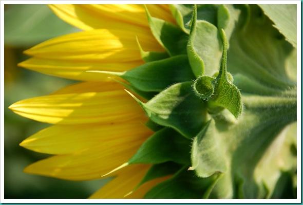 Sunflower Curl