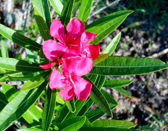 1405608 May 18 Our Oleander From Ann