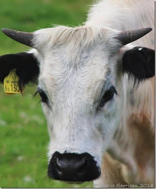20-cow