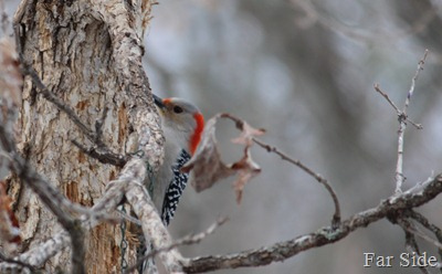 Red Bellied Woodpecker a female