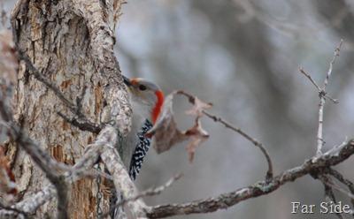 Red Bellied Woodpecker a female