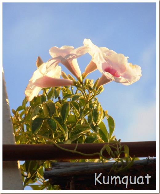 bignonia blanca 4