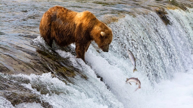 brooks-falls-bears-4