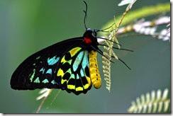 Queen Alexandra's Birdwing