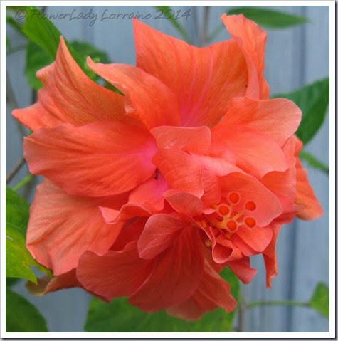 05-08-hibiscus