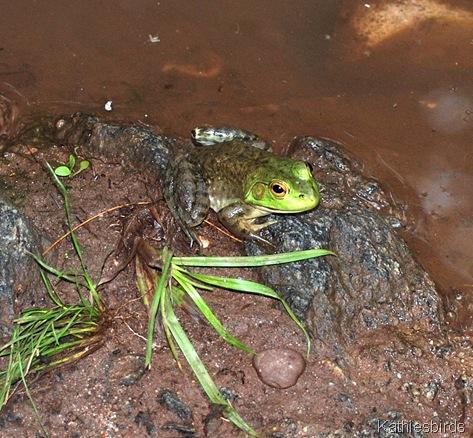 9. frog-kab