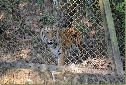 ZP Bengal Tiger