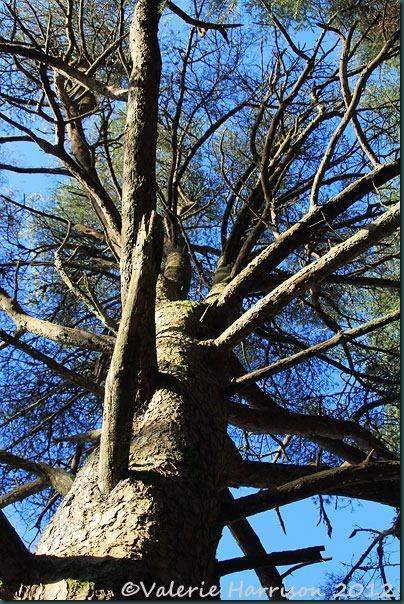 16-scots-pine