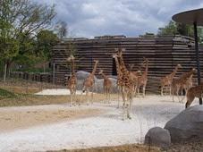 2014.04.21-013 girafes