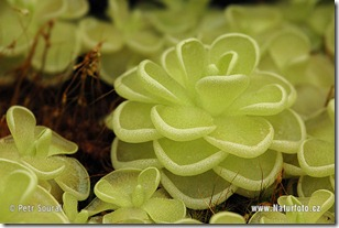 pinguicula-esseriana-0266