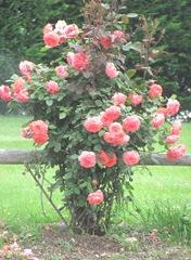 cape cod 6.12 roses tropicana