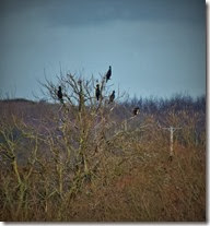 cormorants in a tree Jan 2014