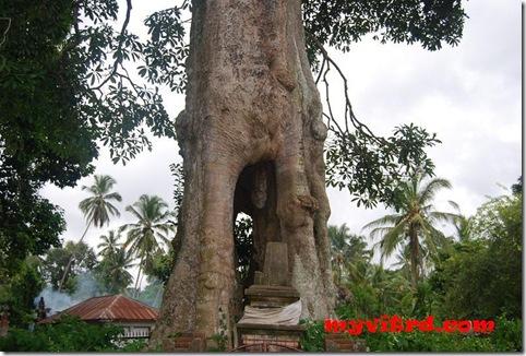 pohon jantan betina