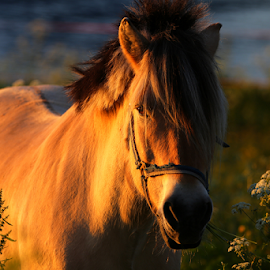 Horse in sunset.. by Unni Lorentsen - Animals Horses