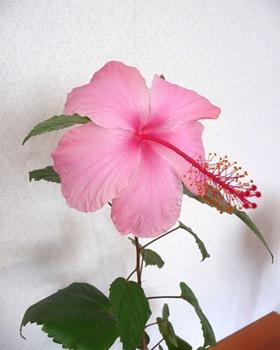 013 korr Hibiscus Daniel Grankvist