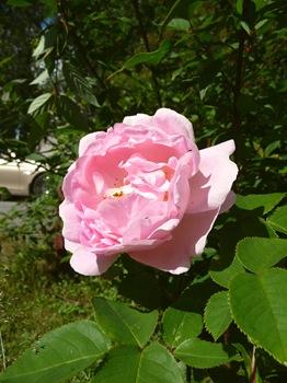 011 Rosa 'Constance Spry' Daniel Grankvist