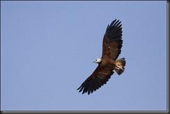 LL - eagle in flight