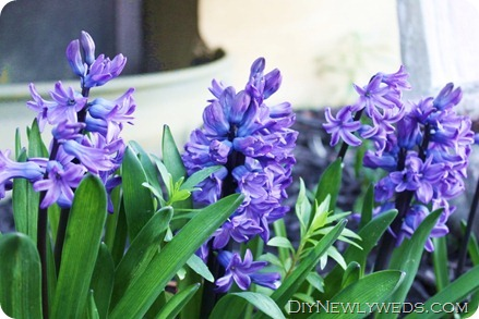 hyacinth