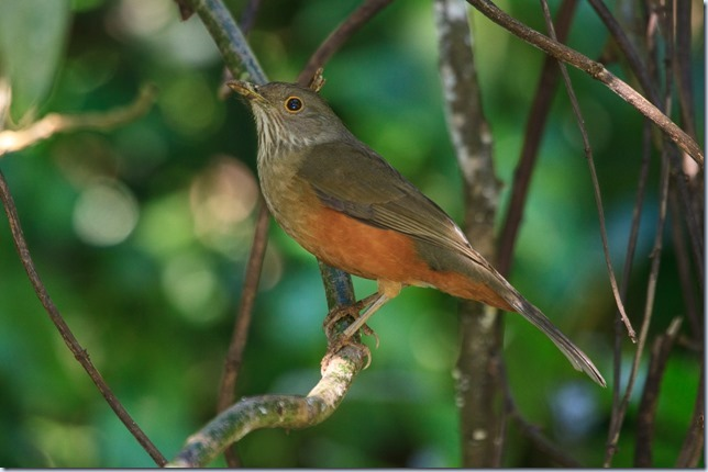 Rufous-bellied_Thrush-1