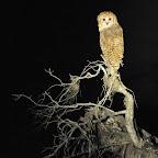 Rarität auf Nachtpirsch bei Tena Tena: eine Pel's Fishing Owl, zu deutsch Bindenfischeule. © Foto: Marco Penzel | Outback Africa Erlebnisreisen