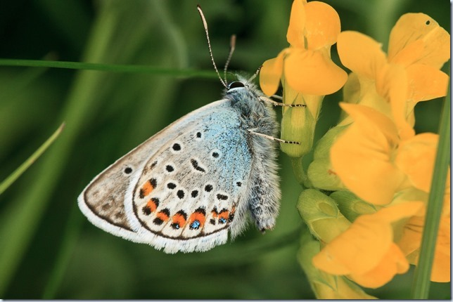 Silver-studded_Blue-1