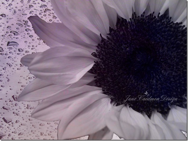 Sunflower_BW