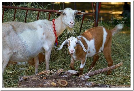 goats-5650