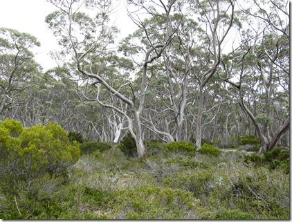 Snow gum woodland
