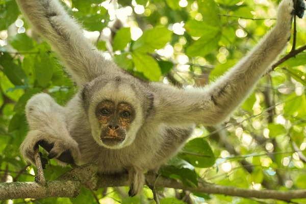 8- O maior primata das Américas