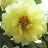 牡丹 High Noon. 今年も綺麗に咲いてくれました。
