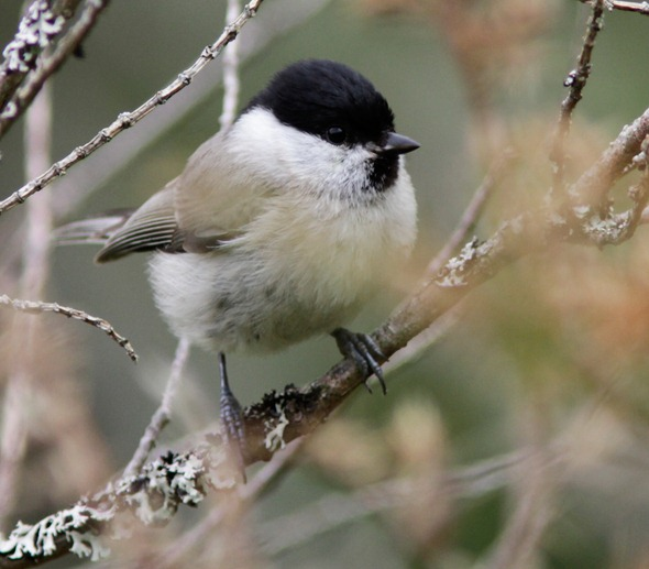 marsh_tit_12_05_17_norway_182