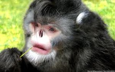 Amazing Pictures of Animals, photo, Nature, exotic, funny, incredibel, Zoo, Myanmar snub-nosed monkey, Alex (6)