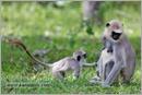 _P6A2110_grey_langur_monkey_mudumalai_bandipur_sanctuary