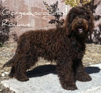 Chocolate Labradoodle, our stud Rockwell.