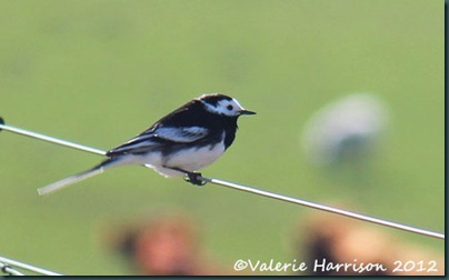 28-pied-wagtail