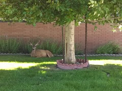 Tee screamed as we approached our house after church. Turns out there was a deer in the grass of the clinic next door!