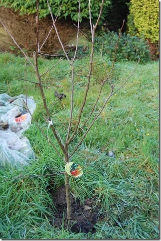 apple trees 003